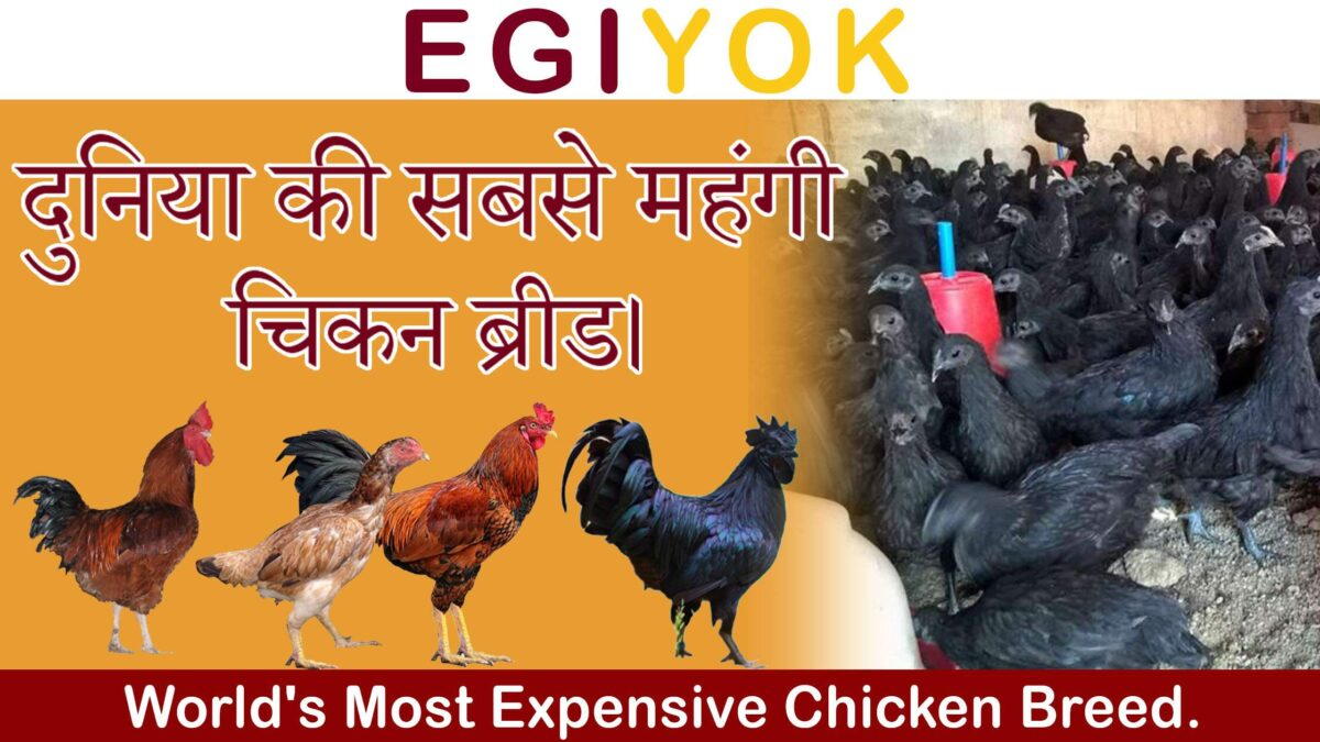 World's most expensive chicken breed.
